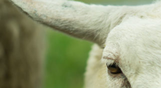 Sheep-close-up-free-license-CC0-980x652-2